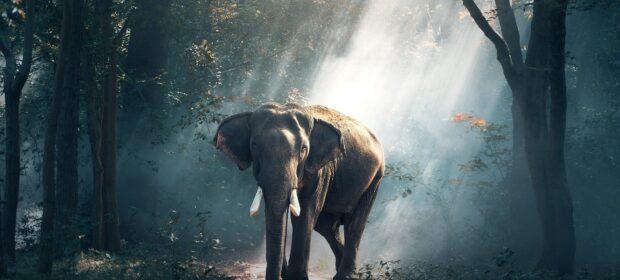 elefant i en skov lysning